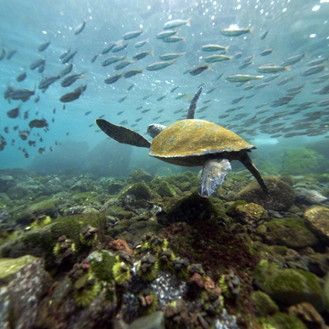 large sea turtle swimming with school of fish